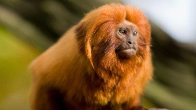 mico - Amazônia
