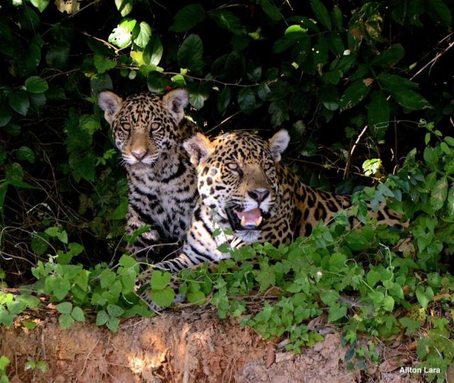 Onças-Pintadas Pantanal